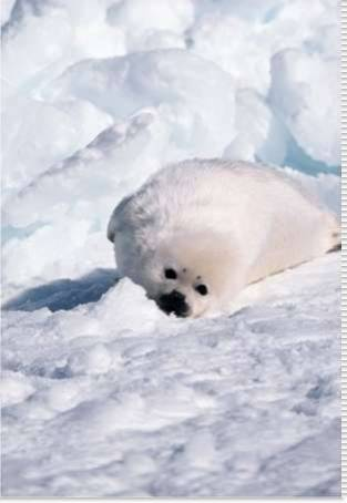Harp Seal pup basking in snow